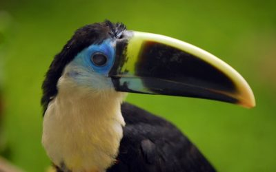 Bird Trafficking in the Amazon