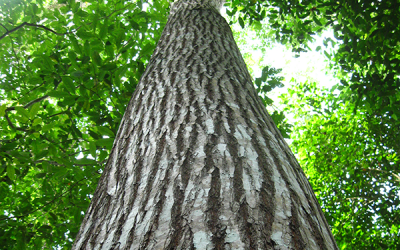 Amazonian countries receive proposal for Regional Action Plan for Cedar and other Amazonian tree species