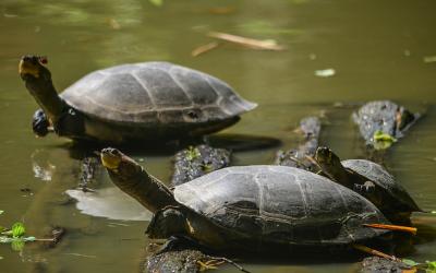Plan de Manejo para la Conservación y Aprovechamiento Sustentable de las Especies Podocnemis erythrocephala (Chipiro), Podocnemis unifilis (Terecay), Podocnemis expansa (Arrau) y Peltocephalus dumerilianus (Cabezón)